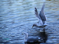 WBY7702-17  5D3-28 Come fly with me... (wbyoungphotos) Tags: lens play gulls talk can if he tamron 28200mm 5d3 wbyoungphotos