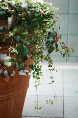() Tags: plant japan natura pottedplant classica natura1600