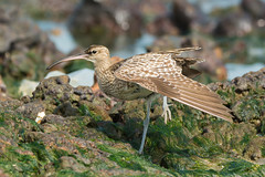 Whimbrel stretching (Dave Montreuil) Tags: ocean africa sea seaweed bird beach water pool beautiful standing nice rocks pretty surf waves mud tide profile stretch sharp clear shore westafrica gambia senegal lovely stretching tidalpool whimbrel wader oneleg numenius phaeopus
