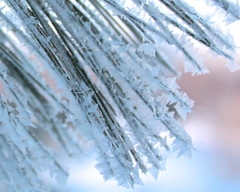 Frost on the White Pine (marylea) Tags: snow crystals snowy explore pineneedles whitepine feb10 2014 explored