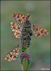 Boloria selene (alfvet) Tags: summer flower macro nature nikon estate ngc butterflies natura npc insetti valsesia farfalle sigma150 veterinarifotografi d5100
