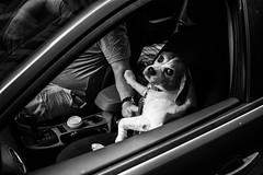 Untitled (luca_ds) Tags: street dog beagle car passenger