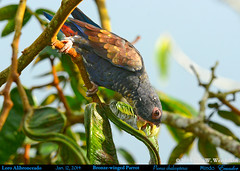 BRONZE-WINGED PARROT Pionus chalcopterus Gnawing on a Guaba Fruit Pod in a Guaba Tree in Mindo in Northwestern ECUADOR. Photo by Peter Wendelken. (Neotropical Pete) Tags: ecuador ngc loro pionus mindo psittacidae bronzewingedpionus ecuadorbirds parrotphoto southamericanbirds neotropicalbirds pionuschalcopterus bronzewingedparrot loroalibronceado southamericanparrots mygearandme peterwendelken fotodeloro parrotphotobypeterwendelken ecuadorparrots mindovalley bronzewingedparrotinecuador bronzewingedparrotphoto bronzewingedparroteatingfruit wildbronzewingedparrot