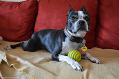 """I Like This Sofa"" (SapphireStargazer) Tags: portrait dog ball bostonterrier funny play couch sofa"