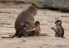 Jonge Mantelbavianen (ditmaliepaard) Tags: jongemantelbavianen safaripark beeksebergen hilvarenbeek