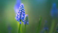 Grape Hyacinth (Dhina A) Tags: sony a7rii ilce7rm2 a7r2 135mm f28 t45 stf sony135mmf28stf 9autoblades 10manualblades sal135f28 smoothtransitionfocus minolta smooth soft silky bokeh bokehlicious apodization grapehyacinth hyacinth flower spring garden