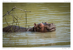 Le Pal (BerColly) Tags: france auvergne allier parc animal hyppopotame hippopotamus lepal bercolly google flickr
