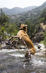 Atrapa piedras (Imthearsonist) Tags: santuariodelanaturalezaelarrayán santiago chile nature dog perro saltando rio agua piedras atrapa atrapando saltano perrojugueton perrosaltando perroenelagua river jumping animals