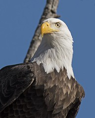 Bald Eagle portrait (Joan M) Tags: 1970508 baldeagle eagle portrait raptor msriver winter2017 iowa wintermigration wildlife bird nature