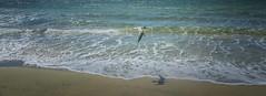 Summer retreat (Wajahat Mahmood) Tags: meelupbeach southwest wa westernaustralia australian gull seagull nikond810 ocean summer