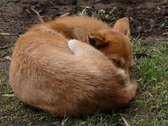 sleeping dog at village near kumul lodge (Pete Read) Tags: sleeping dog village near kumul lodge mount hagen papau new guinea