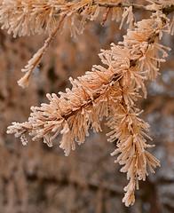 Frost on the larch needles (МирославСтаменов) Tags: russia moscowregion pushchino larch larix branch needle shoot frost tree coniferous