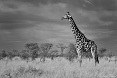 Stand tall (Sumarie Slabber) Tags: sumarieslabber southafrica giraffe wildlife blackandwhite mono wild animal fauna artistic