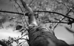Going out on a limb (matthew.vortex) Tags: tree limb spring dof pentax pentaxme smcm2828 ilfordhp5 ilford ilfosol3 yellowfilter georgetown kentucky epsonv600