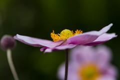 Japanese anemone (Thelma Gatuzzo) Tags: viagem flowers blossom thelmagatuzzo© flor mantiqueira fleurs garden 2017 jardim flora serradamantiqueira natureza camposdojordão fiore blooming bloom macro anemone flores japaneseanemone bokeh