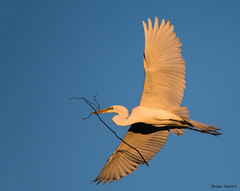 Golden Egret (b88harris) Tags: great egret white green lore golden light wildlife nature nikon nikkor lens trees tree nesting exposure