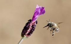 Anthophora plumipes, male (valerierodriguez1) Tags: lavande lavender abeille bee banche white nature extérieur outside