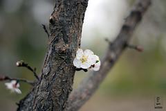 Flower and Tree (Ahmad Tishk) Tags: flower tree macro kurd kurdistan erbil iraq asia canon 600d t3i 50mm hawler flowerbed کول کورد كوردستان