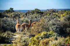 Guanacos (hapePHOTOGRAPHIX) Tags: 032arg américadelsur argentina argentinien guanaco guanako halbinselvaldés kamel lama lamas penínsulavaldés puertomadryn southamerica säugetier südamerika tier valdespeninsula animal camel camelid camelidae camello hapephotographix lamaguanicoe mammal mammalia mamífero chubut ar dsplyys