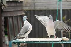 21 April 2017 (11) (AJ Yakstrangler) Tags: yakstrangler pigeon pigeons