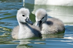 Siblings (dina j) Tags: floridawildlife floridabird florida wildlife bird swan muteswan cygnet lakeland babyswan babyanimal