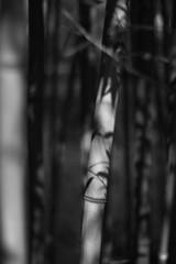 Ombre (Idil Fortin) Tags: macro détail noir et blanc noiretblanc monochrome nuances de gris nature nb giverny jardin bambou ombre lumière c canon canoneos500d