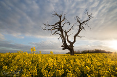 Yellow Sunset (Dave Holder) Tags: sunset tree landscape clouds east yorkshire