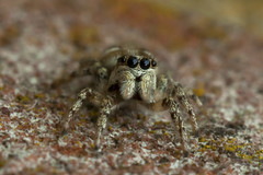 Zebra jumping spider (keithjherbert) Tags: macro spider eos500d 100mm nature uk isleofwight