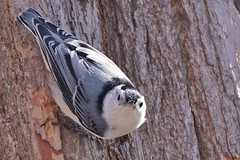 The name is Hatch. Nuthatch. (beyondhue) Tags: nuthatch bird mud lake portrait beyondhue ottawa spring tree canada