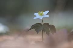 Buschwindrößchen (Eleonora Lengemann) Tags: buschwindröschen weiss frühling spring wald forrest naturschutzgebiet nsg hessen