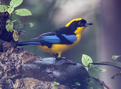 IMG_2094 Blue-winged Mountain-Tanager (suebmtl) Tags: bird ecuador tanager bluewingedmountaintanager santadeo pichinchaprovince anisognathussomptuosus