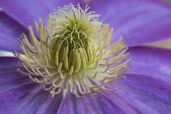 Clematis (jeff's pixels) Tags: clematis flower macro beauty mondays nature purple hair nikon d750