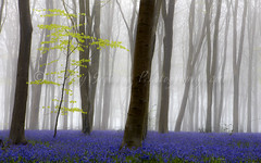 In the company of giants (pixellesley) Tags: dawn mist cold damp magical bluebells flowers trees beeches colour spring fog leaves sapling quiet stillness tranquil landscape lesleygooding