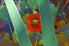 Peeping Tom Thumb! (maginoz1) Tags: flowers abstract art manipulate contemporary tomthumb alisterclarksrosegarden bulla melbourne victoria australia autumn march 2017 canon g3x