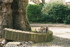 Squirrel (Joe Alcorn) Tags: london urban grey squirrel film 35mm c200 fujicolor nature tree bark