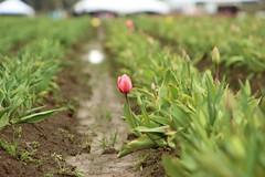 IMG_8220 (dedeauxphotography) Tags: tulip portlandoregon tulipfestival landscapes red flowers focus vantagepoint