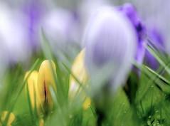 Spring is here! (Wouter de Bruijn) Tags: fujifilm xt1 fujinonxf90mmf2rlmwr spring flower flowers nature crocus crocuses croci color easter bokeh soft pastel bright grass plant outdoor middelburg walcheren zeeland nederland netherlands holland dutch