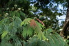 Albizia chinensis leaves (J. B. Friday) Tags: albizia albiziachinensis fabaceae