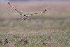 R17_0025 (ronald groenendijk) Tags: cronaldgroenendijk 2017 asioflammeus rgflickrrg animal bird birds birdsofprey groenendijk nature natuur natuurfotografie outdoor owl owls ronaldgroenendijk roofvogels shortearedowl velduil vogel wildlife