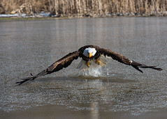 Breaking the Ice (Jen St. Louis) Tags: simcoe ontario canada canadianraptorconservancy captive baldeagle ice pond raptor eagle nikond750 nikon70200mmf28 jenstlouisphotography wwwjenstlouisphotographycom