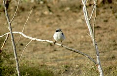 Southern Grey Shrike posing (Brandon.B.K) Tags: southerngreyshrike birds photography wildlife wildphotography canon desert europe greybirds spring