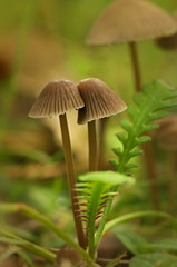 Mushroom pair (Yani Dubin) Tags: fungus mushroom canterbury macro gimp fungi nature colour green bokeh plant darktable bokehlicious autumn d7000 tokinaaf100mmf28macro christchurch macrophotography newzealand brown moss color christchurchbotanicgardens