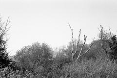 Bare tree (tercrossman87) Tags: canon 7 50mm 18 ilford fp4 125 119 film home development ilfotec lc29 epson v550