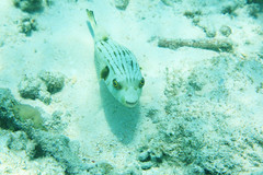 Pesce palla (Landersz) Tags: philippines filippine coron palawan club paradise snorkeling turtle shark clownfish nemo dugong landersz canon 5dmk3 nimar gopro hero5