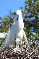Mama - quit your grooming and feed us!!! (Laura Rowan) Tags: egret chicks babies spring staugustinealligatorfarm bird birding rookery florida sunshine