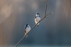 Tree Swallow Elegance (PhillymanPete) Tags: bird palmyracovenaturepark perch treeswallow wildlife sidelight pair nature palmyra newjersey unitedstates us nikon d7200