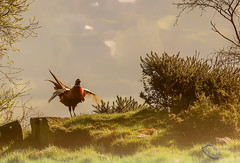 What a fine welcome to our early misty but sunny morning up on the Moors today (cjpk1) Tags: pheasant cry crying spring misty sunny morning