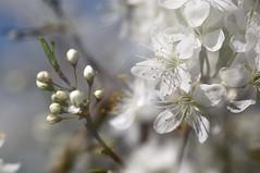 weiß (nirak68) Tags: 099365 blüte blossom schlehdorn prunusspinosa schlehendorn schlehe heckendorn schwarzdorn deutscheakazie prunus steinobstgewächs amygdaleae rosengewächs rosaceae blackthorn 2017ckarinslinsede doppelbelichtung doubleexposure trittau schleswigholsteinkreisstorm deutschland ger