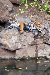 810 Day 4 Tigers (brads-photography) Tags: cleaning female india laiddown laying licking mala nationalpark noor pantheratigristigris rajasthan ranthambore resting royalbengaltiger sawaimadhopur sideon t39 tiger tigerreserve tongueout water waterhole wildlife