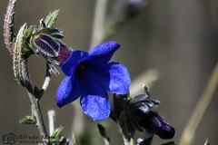 Carrasquilla arbustiva ( Lithodorqa frutícola) (Esmerejon) Tags: carrasquilla arbustiva lithodorqa frutícola tambiénconocidacomoyerbadelassietellagasyasperon plantasilvestre florsilvestre flordecolorazul florasilvestre floraciónfinalesdemarzoprincipiosdeabril